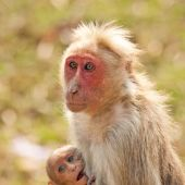 Bonnet macaque nursing in Bandipur National Park India. poster