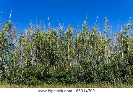 Young Bamboo forest on a sunny day