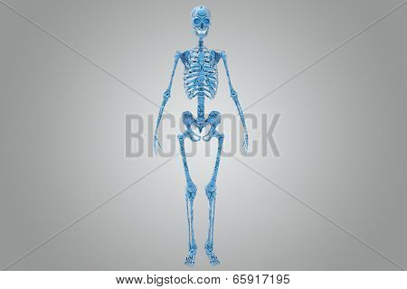 The human skeleton is the internal framework of the body. It is composed of 270 bones at birth this total decreases to 206 bones by adulthood after some bones have fused together. poster