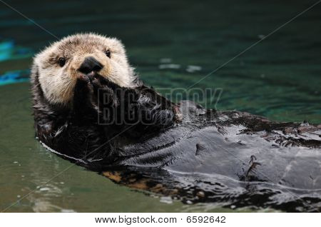 Otter Greeting