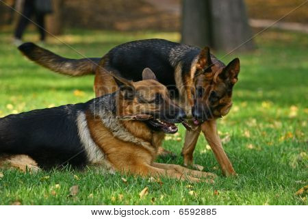Two German shepherds draw a stick on a bright glade in the autumn poster