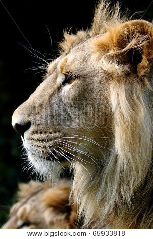 Head shot of a male Asiatic lion poster
