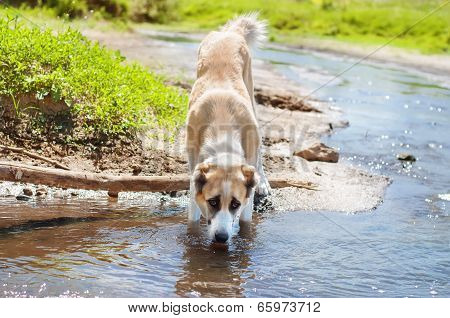 Dog Drinking Water Of The Pond
