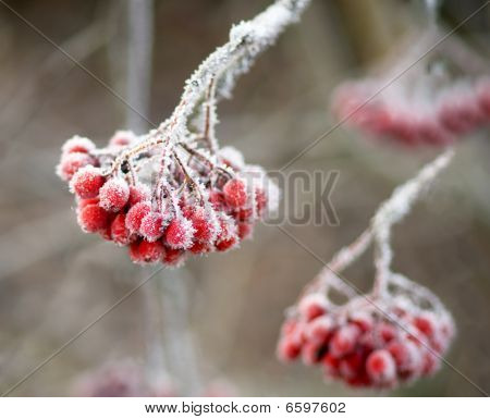 Bunch of rowan berries with ice crystals poster