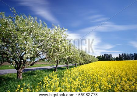 View To Apple Trees And Rape Field