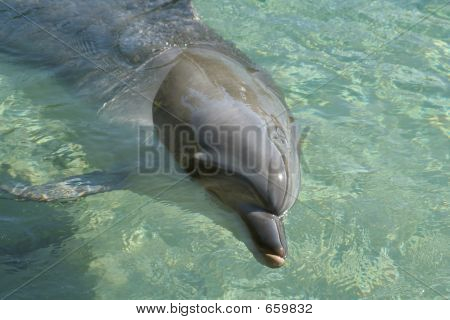 Dolphin In Clear Water