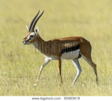 African Grant Gazelle in Amboseli National Park . Kenya Africa poster