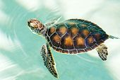 Cute endangered baby turtle swimming in turquoise water poster