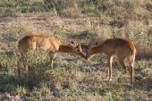 Two young pukku getting friendly in Zambia's Luangwa Valley national park poster