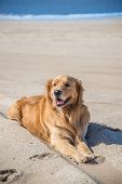Beautiful Dog Golden Retriever breed enjoying at the beach. Argentina South America. poster