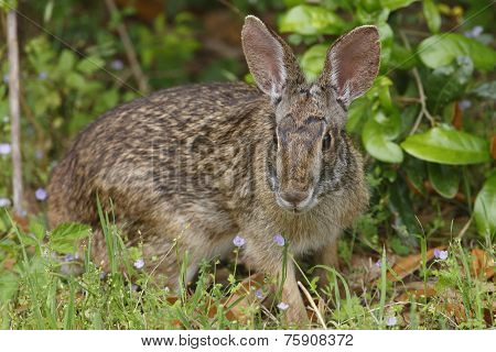 Eastern Cottontail Rabit - Texas