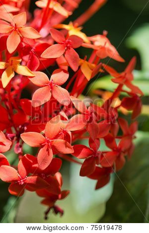 Close up Attractive Red Ixora Flower, Known as West Indian Jasmine, Rangan, Kheme, Ponna, Chann Tanea, Techi, Pan, Santan, Jarum-jarum, Jungle Flame, Jungle Geranium, at Mahe Island, Seychelles