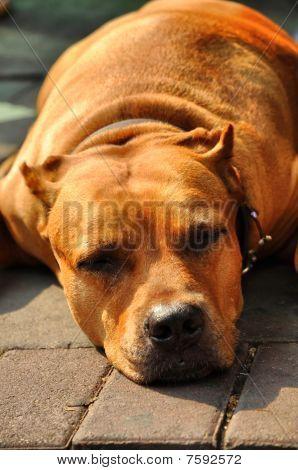 Pit Bull Terrier  Flop Brown Head