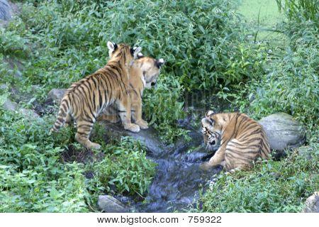 Young siberian tiger cubs