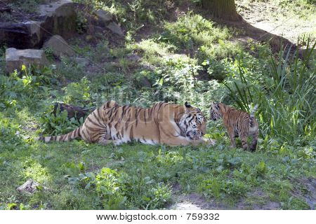 Siberian Tiger And Cub