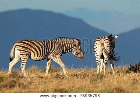 A pair of plains (Burchells) Zebras (Equus burchelli), South Africa