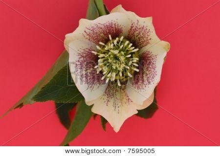 beautiful hellebore flower