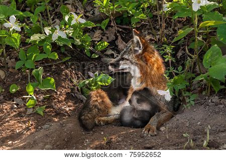 Grey Fox Vixen (urocyon Cinereoargenteus) And Kit Snuggle At Densite