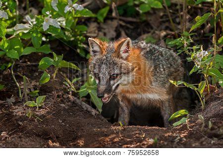 Grey Fox Vixen (urocyon Cinereoargenteus) Emerges From Den