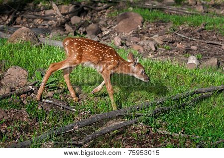 White-tailed Deer Fawn (odocoileus Virginianus) Trots Right