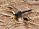 Macro of black dragonfly sitting on dry grass stems poster