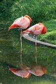 Sleeping Flamingoes poster