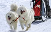 Two samoyed sled dogs in speed racing, Moss, Switzerland poster