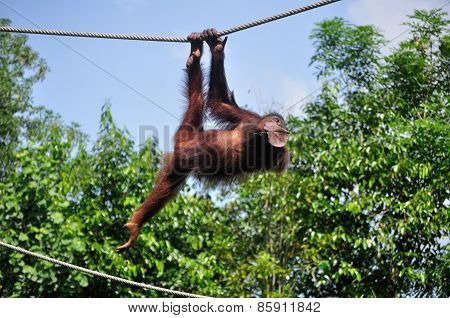 Orang Utan swinging on a rope, Sabah Borneo Malaysia poster