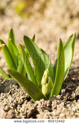 Not Opened Buddingblow Of Hyacinth Flower