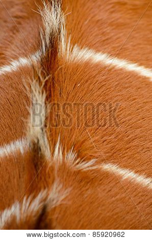 Back Of An Antilope