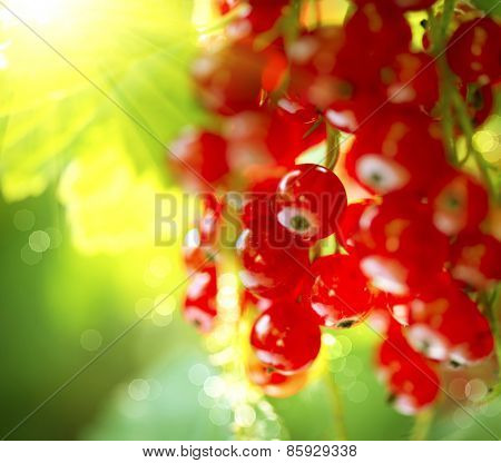 Redcurrant. Ripe and Fresh Organic Red Currant Berries Growing in the Garden