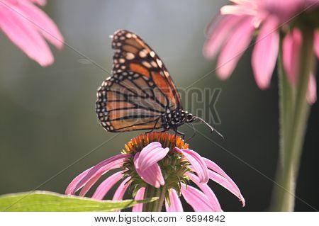 Monark Butterfly