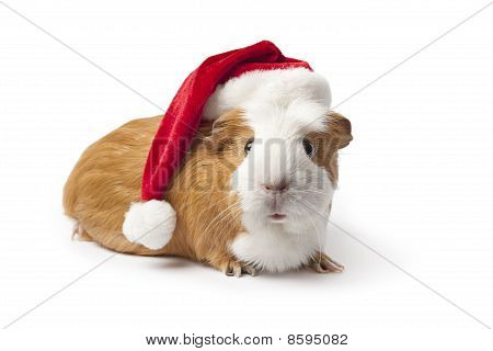 Guinea Pig with Christmas hat