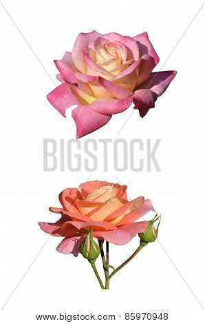 Two Roses Isolated