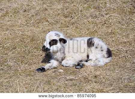 Little lamb standing alone