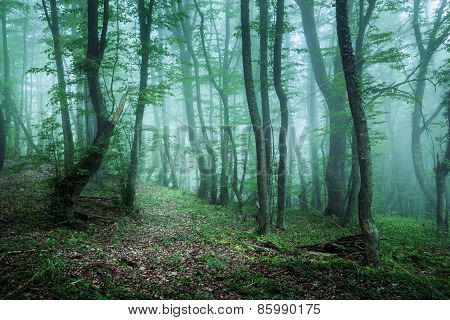 Trail Through A Mysterious Dark Forest In Fog With Green Leaves