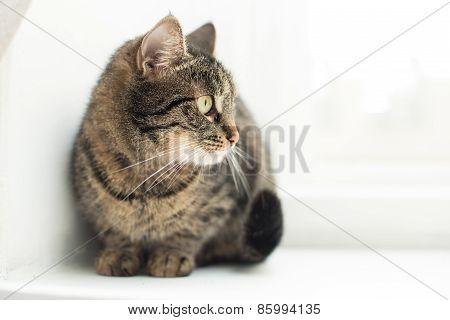 Grey domestic cat
