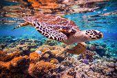 Hawksbill Turtle - Eretmochelys imbricata floats under water. Maldives - Ocean coral reef.  poster