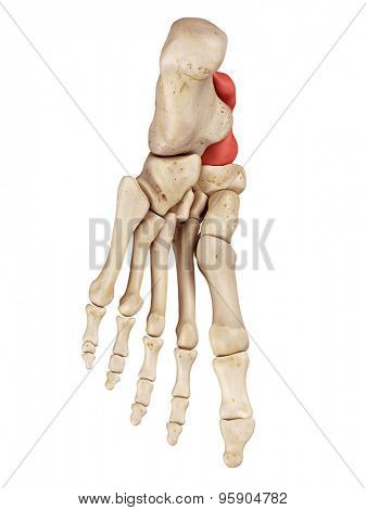 medical accurate illustration of the talus bone