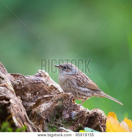 tree pipit at tree trunk in forest