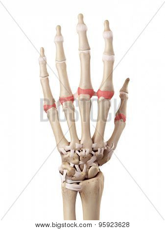 medical accurate illustration of the proximal joint capsules