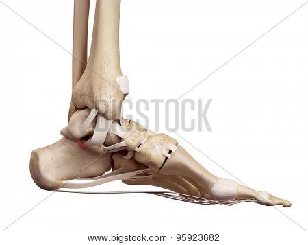 medical accurate illustration of the medial talocalcaneal ligament