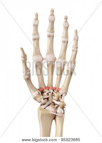 medical accurate illustration of the palmar metacarpal ligaments