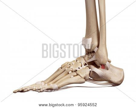 medical accurate illustration of the superior calcaneofibular ligament