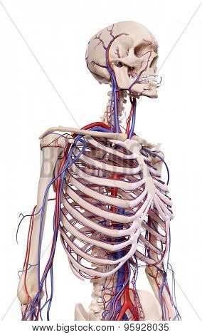 medical accurate illustration of the thorax blood vessels