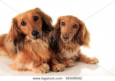 Two longhair dachshund, studio isolated on white.  poster
