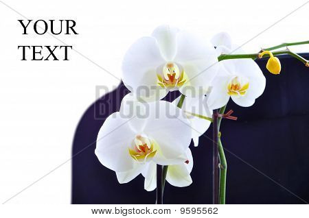 Beauty fresh-cut flower white orchid over white poster