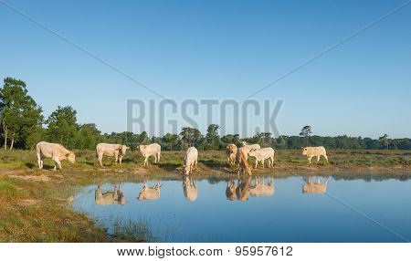Cows Reflected In The Water Surface