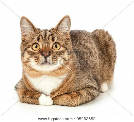 Pet. Cat Isolated On A White Background
