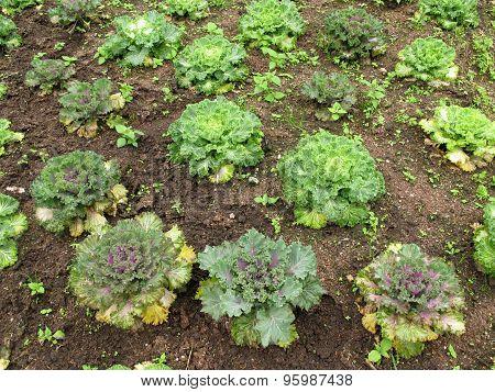 Salad Vegetable Grow On Ground